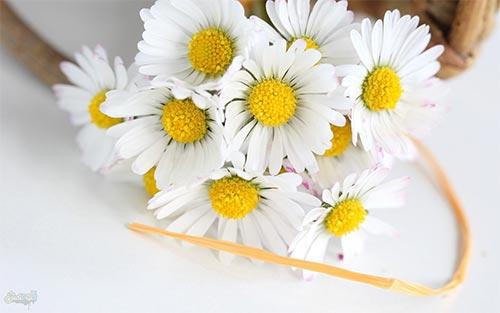 گل بابونه| خوشبین هستید و خوششانس