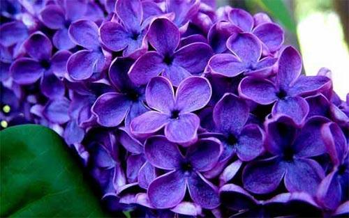 گل یاس بنفش| به خانواده عشق میورزید