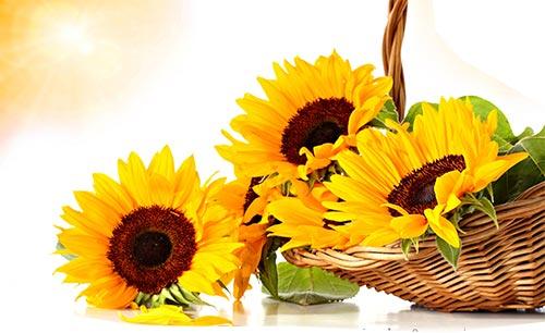 گل آفتابگردان| خوشبین هستید و به دنبال پیشرفت
